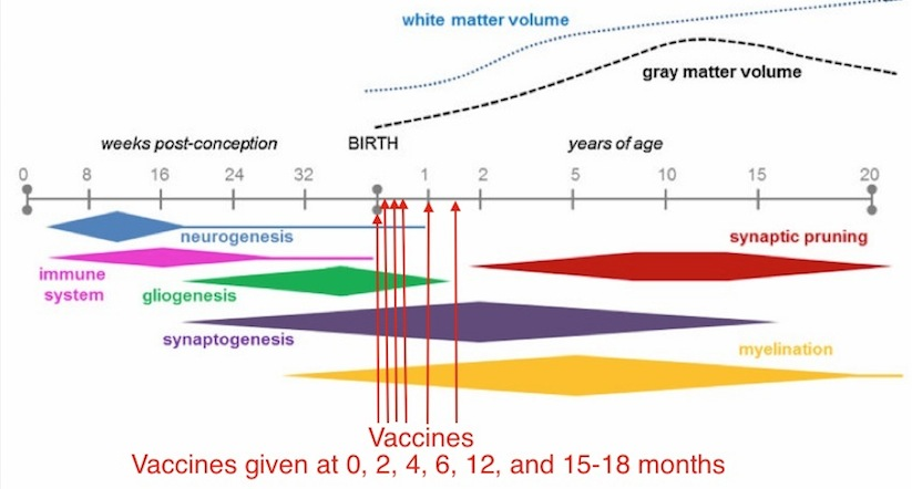 Disrupted Immunity In Fetal Brain Is >> The Infant Brain Is Damaged By Immune Activation Vaccinepapers Org