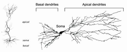 Apical-vs-basal-dendrites