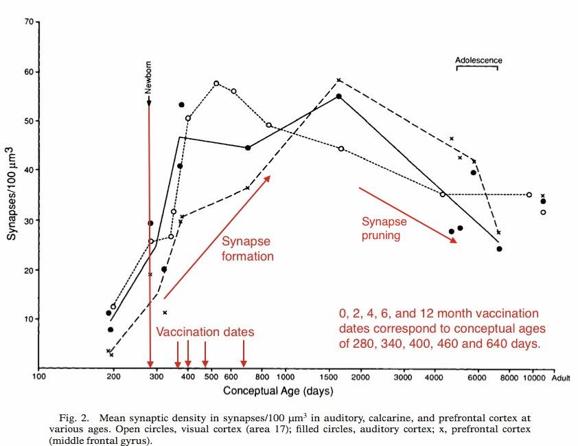 Synapse-density2